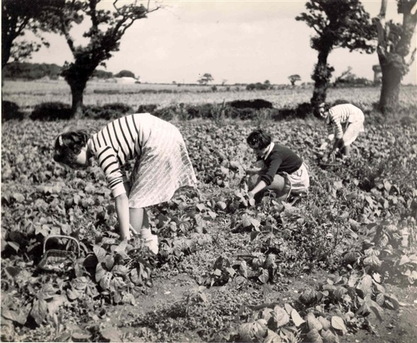 Photo:Bean picking Caister-on-Sea