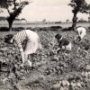Page link: Bean picking Caister-on-Sea