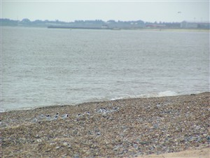 Photo:A line of Little Terns relaxing at North Denes